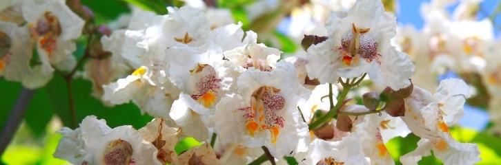 катальпа, растение, уход, советы, сад, рослина, догляд, квіти, поради