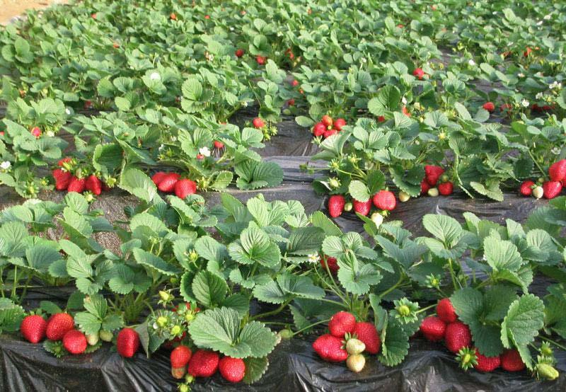полуниця, догляд, сад, огород, уход, растения