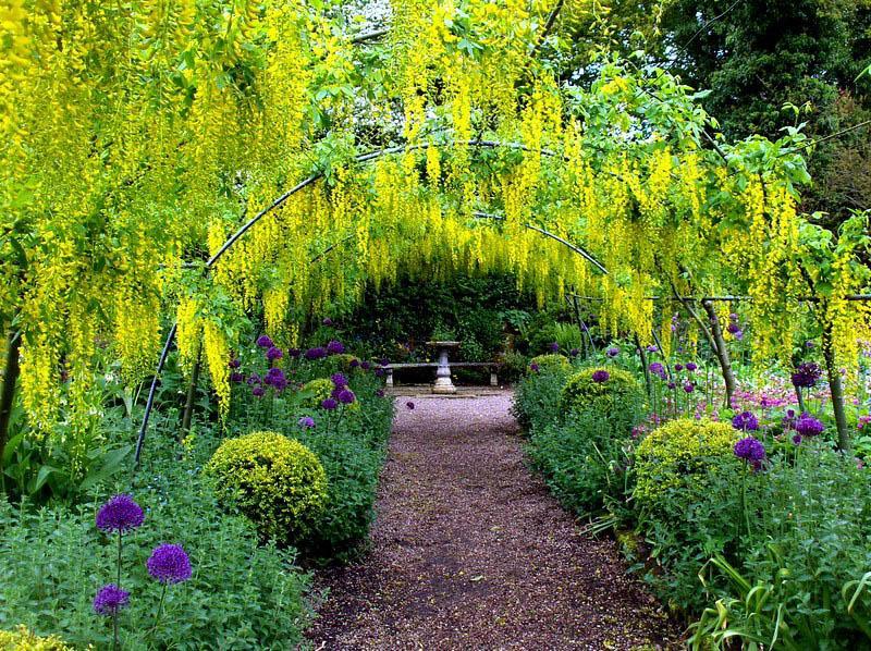лабурнум, дерево, уход, сад, компост, поливание, формирование, гроздья, роослини, дерева, лабурнум, сад, догляд, поради