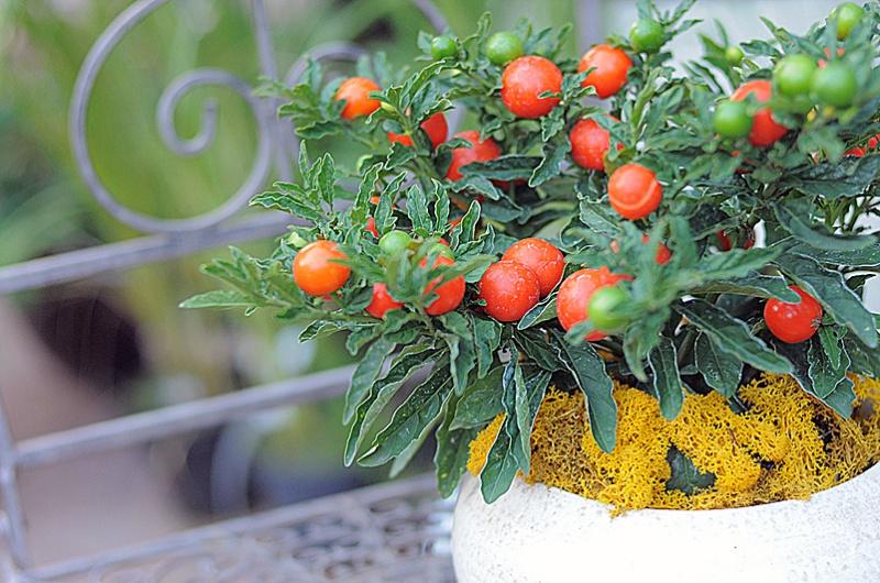 паслин, уход, растение, сад, советы, квітка, догляд. паслін, сад. рослина