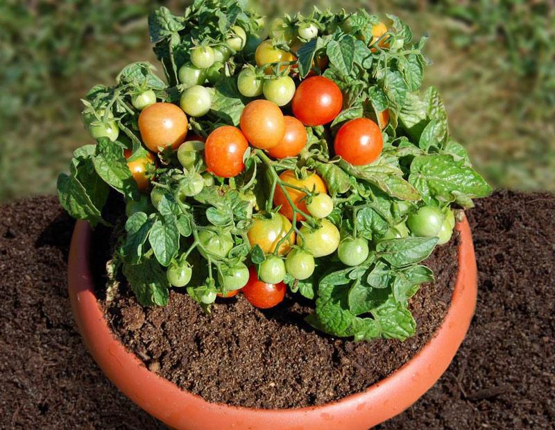 помідори, вирощування, горщики, домашні умови, рослини, уход, помидоры, растения