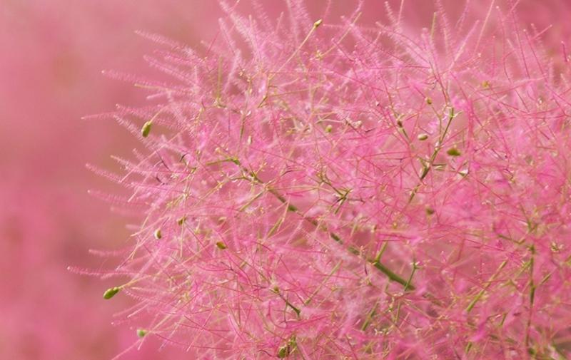 рай дерево, скумпія, догляд, сад, декор, уход, растение, дерево