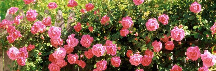 троянди, підрізання, догляд, сад, квіти, бутони