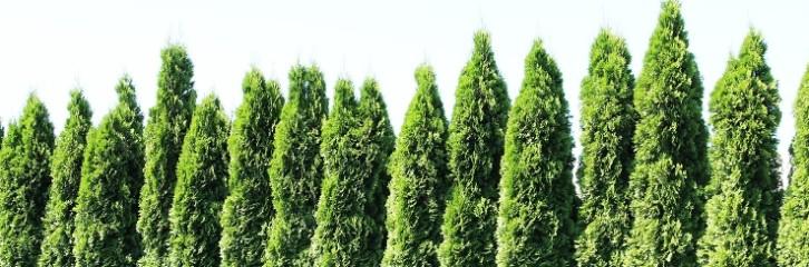 хеджування, рослини, догляд, туї, живопліт, изгородь, растения, уход, сад