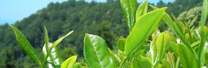 стевия, растения, уход, сад, дом, догляд, поради, квіти, рослини
