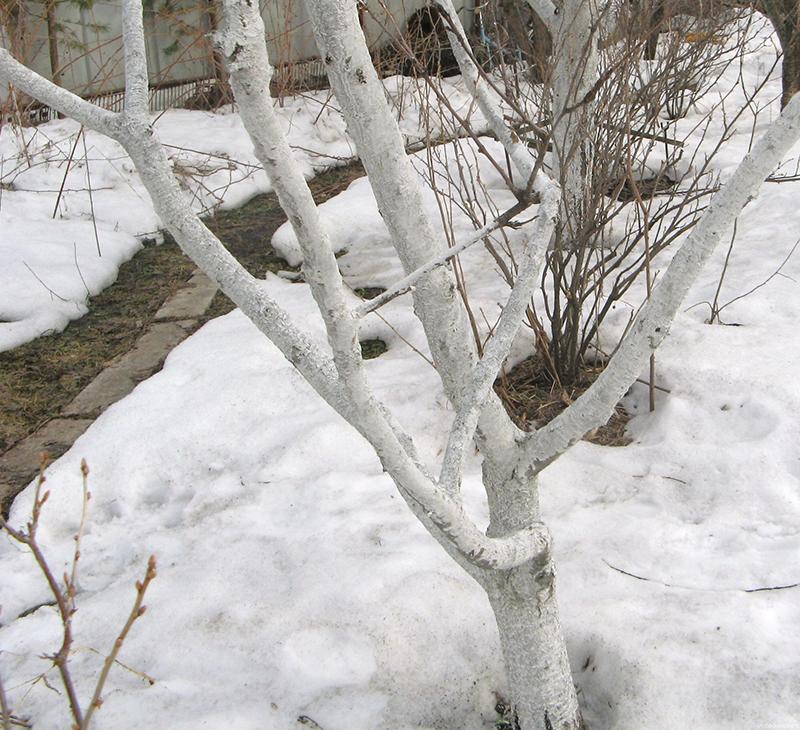 стовбур, побілка, дерево, зима, кора, тріщини, догляд, шкідники, растения, уход, советы, побелка, вапно