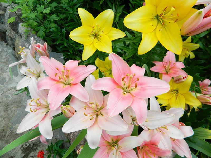 цибулини, цветы, растения, сад, уход, квіти, рослини, луковицы