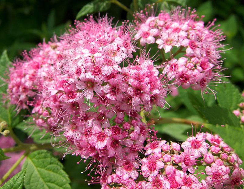 растения, квіти, сад, уход, вейгела