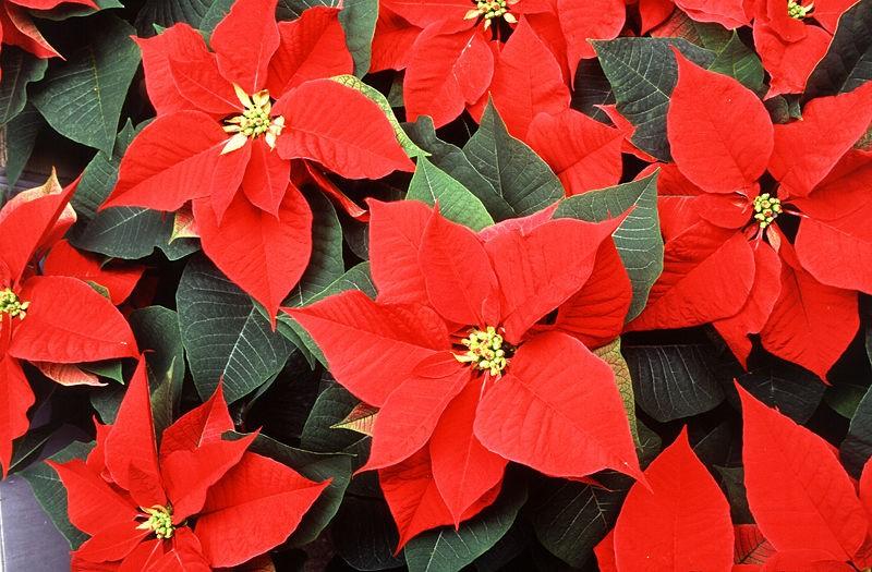 пуансеттия, звезда, цветок, уход, растение, сад, догляд, поради, квітка, вифлиємська зірка