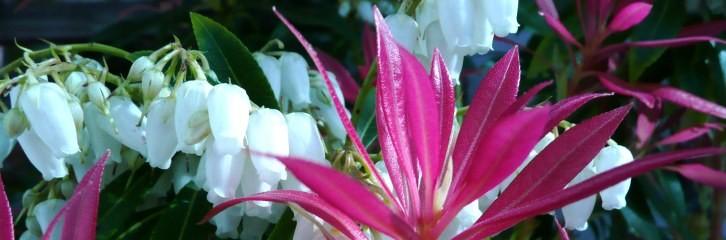 Пиерис японский, цветок, растения, сад, уход, советы, соцветия, грунт, почва, полив