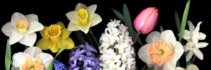 цветы, весна, луковицы, гиацинты, нарциссы, звездочки, гадючий лук, уход, советы, сад