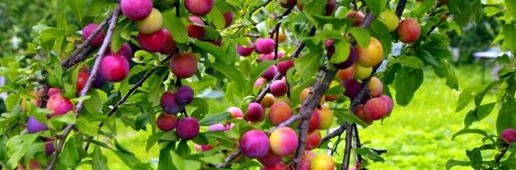 алыча, растение, дерево, сад, сливавая вишня, уход, советы, алича, поради, догляд сад, рослини