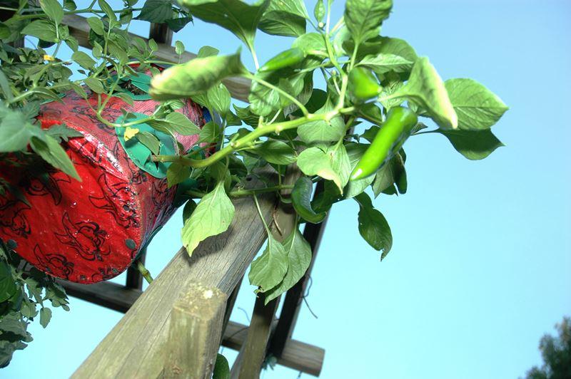 овощи, подвесные, вазоны, уход, советы, сад, огород, помидоры, клубника, высаживание
