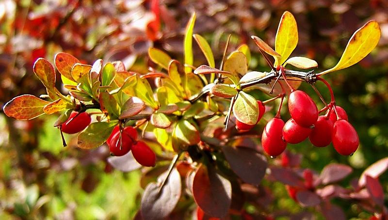 барбарис, сад, растения, азия, японский барбарис, цветы
