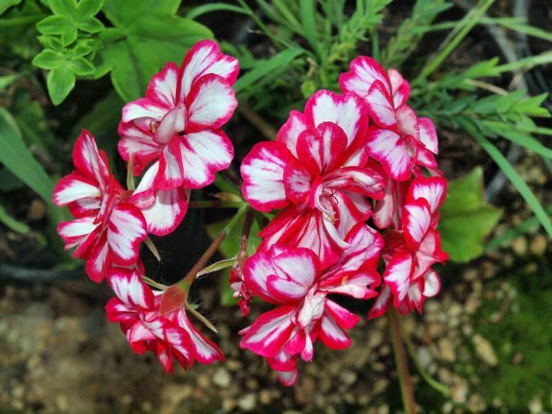 репелленты, растения, сад, комары, защита, цветы, герань, миирта, базилик, лаванда