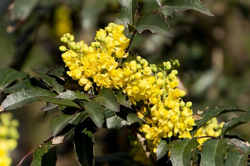магония падуболистная, сад, растения, цветы, уход, советы, листья, соцветия