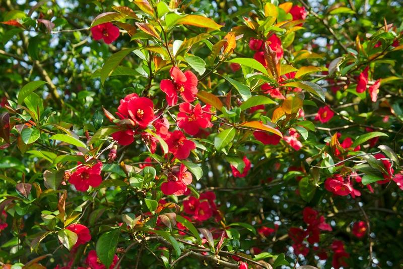 Хеномелес, японская айва, растения, плоды, сад, уход, советы, джемы, обрезание, цветки