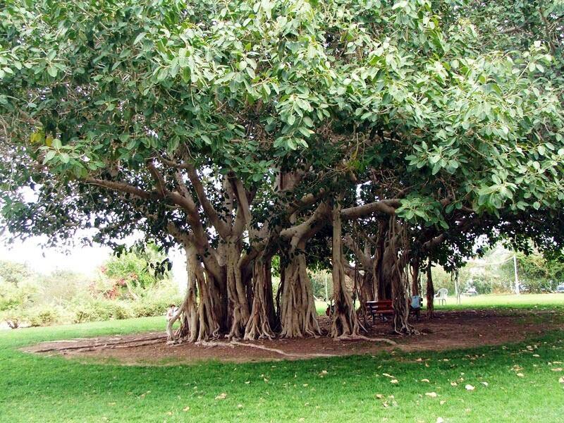 смоковница бенгальская, баньян, фикус бенгальский. растения, цветы, епифиты, уход, советы, дом, сад,