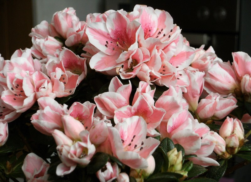 азалия, уход, советы, почва, растения, цветы, виды, сорта, квіти, поради, догляд, рослини, азалія