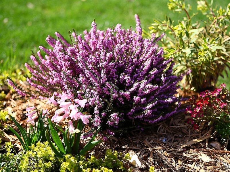вересковые, кусты, уход, поливание, почва, земля, уход, растения, цветы, советы