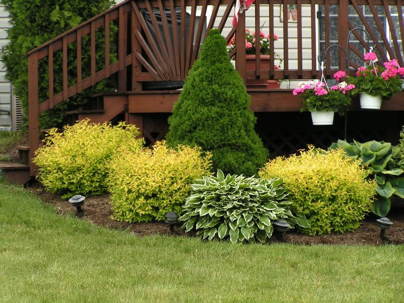 таволга, советы, уход, почва, поливание, растения, сад, цветы, декор