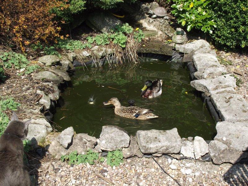 сад, пруд, советы, водоем, вода, цветы, растения, уход. создание пруда, фонтан,
