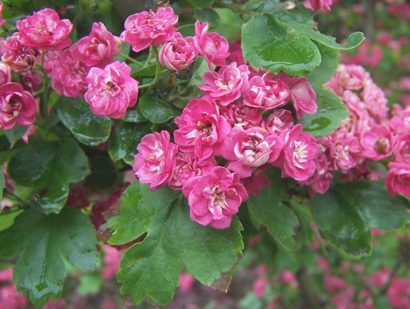 Маленькие розы, боярышник обыкновенный, уход, цветы, листья, плоды, сад, советы