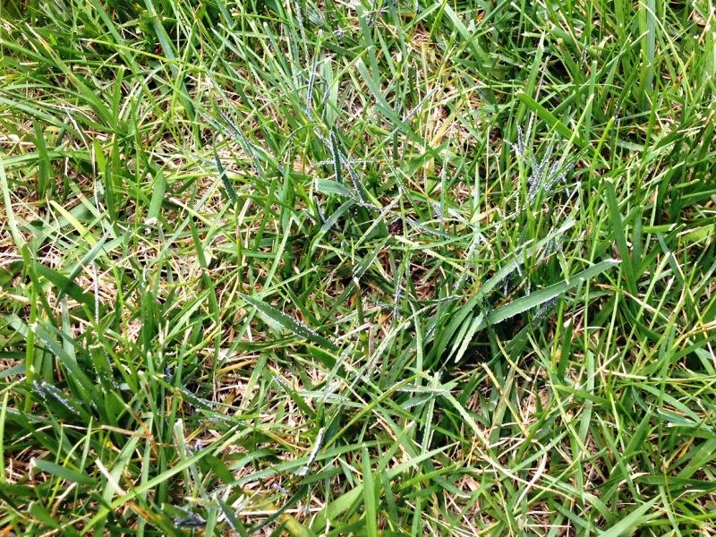 снег, плесень, болезни, газон, трава, уход, красота, сад, советы