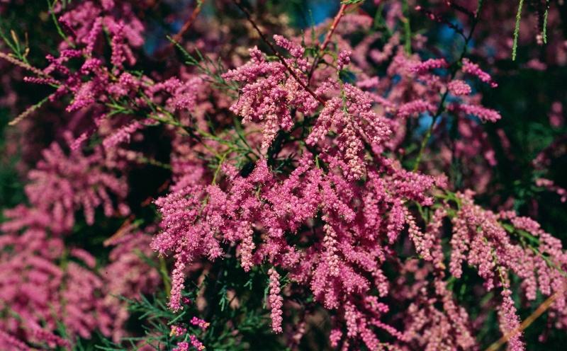 тамариск, растение, уход, цветы, советы, декор