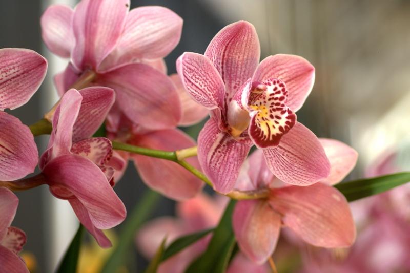 орхидеи, цвветы, выставки, сад, уход, советы