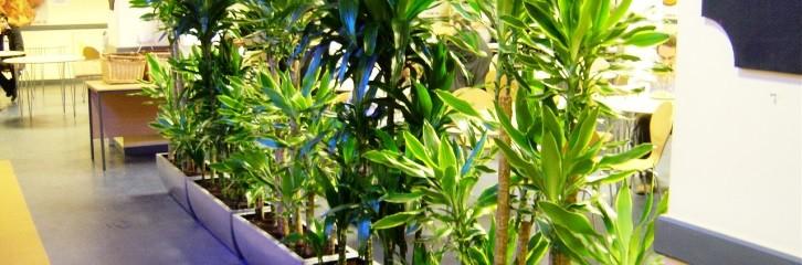 офисные растения, офис, работа, цветы, уход, советы