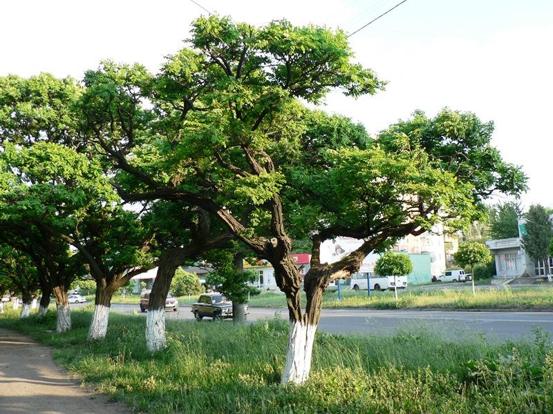 акація біла, дерево, ролсини, квіти, догляд, поради, декор