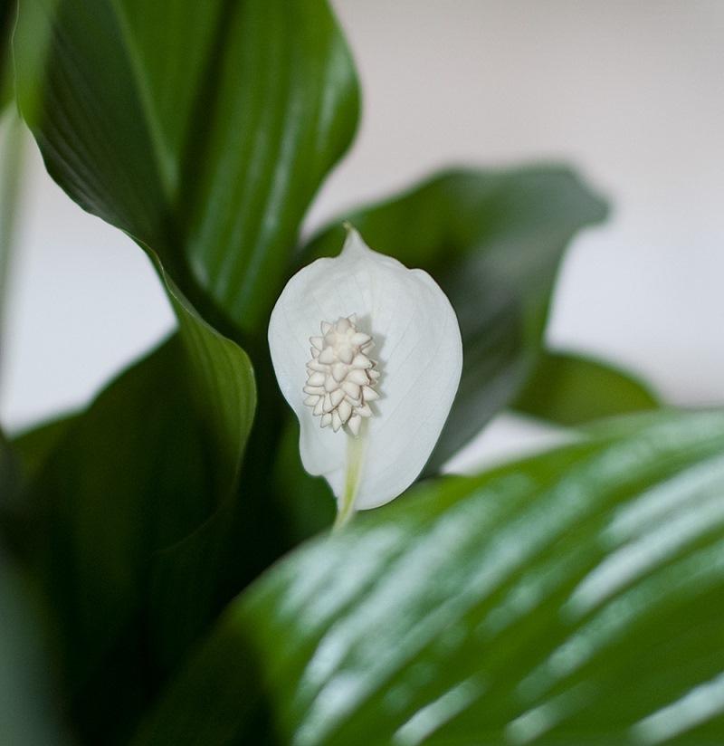 спатифілум, догляд, рослини, сад, офіс, зелень, догляд,вазон