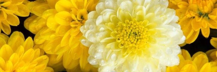 жоржини, квыти, сад, рослини, догляд, поради, декор, краса