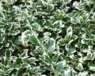 Бересклет форчуна, сад, рослини, догляд, квіти, поради, декор