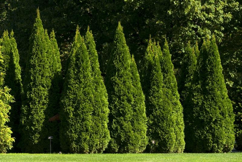 туи, разновидности, сорт, вид, красота, декор, дизайн, формирование, сад, растения