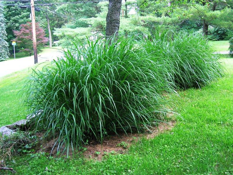 декоративна трава, кольори, тони, окрас, декор, дизайн, сад, рослини, трава,