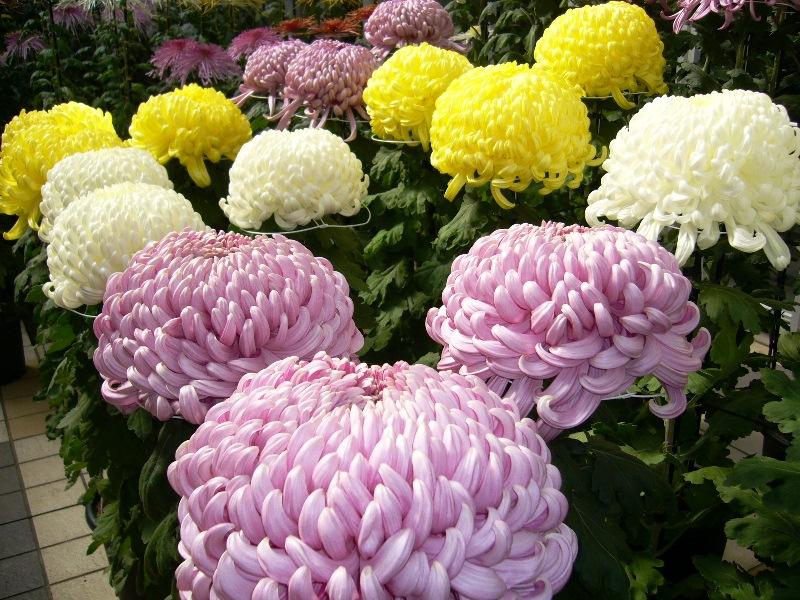 хризантеми, квіти, сад, рослини, декор, сорти, краса, дизайн