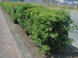 Acer campestre veldesdoorn haag heg haie hedge Hecke Zaun