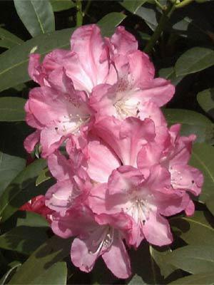 Рододендрон якушиманський 'Anuschka' ('Анушка')
