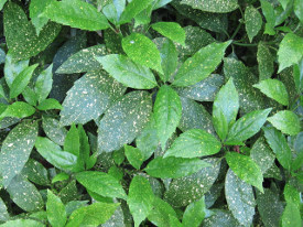 Aucuba japonica 'Variegata' (Аукуба японська) - живопліт фото