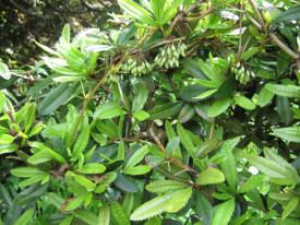 Berberis julianae (Барбарис Юліани) - живопліт фото