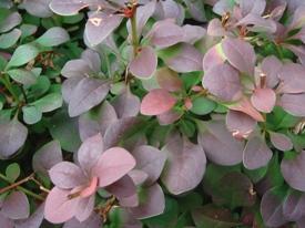 Berberis thunbergii 'Atropurpurea' zuurbes haag heg haie hedge Hecke Zaun