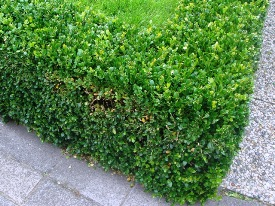 Buxus sempervirens (Самшит вічнозелений) - живопліт фото