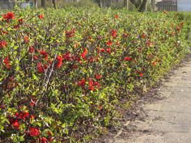 Chaenomeles (Айва) - живопліт фото