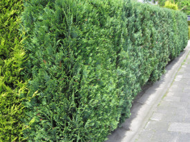 Chamaecyparis lawsoniana dwergcipres haag heg haie hedge Hecke Zaun