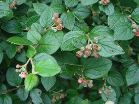 Cotoneaster franchetii dwergmispel haag heg haie hedge Hecke Zaun