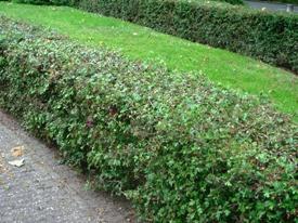 Crataegus meidoorn haag heg haie hedge Hecke Zaun