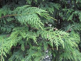 Cuprssocyaparis xleylandii Leland cipres haag heg haie hedge Hecke Zaun