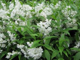 Deutzia gracilis bruidsbloem haag heg haie hedge Hecke Zaun
